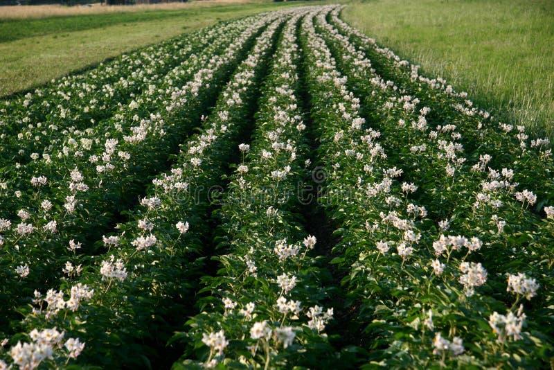 Het gebied van de aardappel in het bloeien tijd stock afbeeldingen