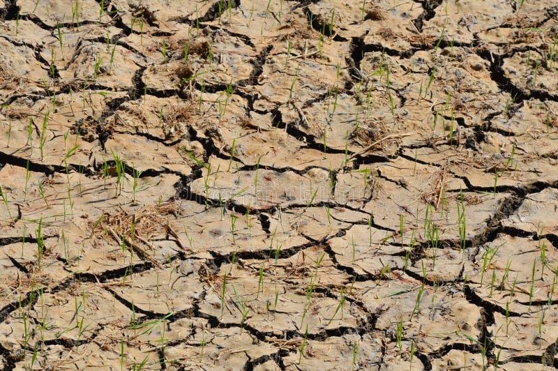 Het gebied van de barstpadie in droog seizoen royalty-vrije stock foto's