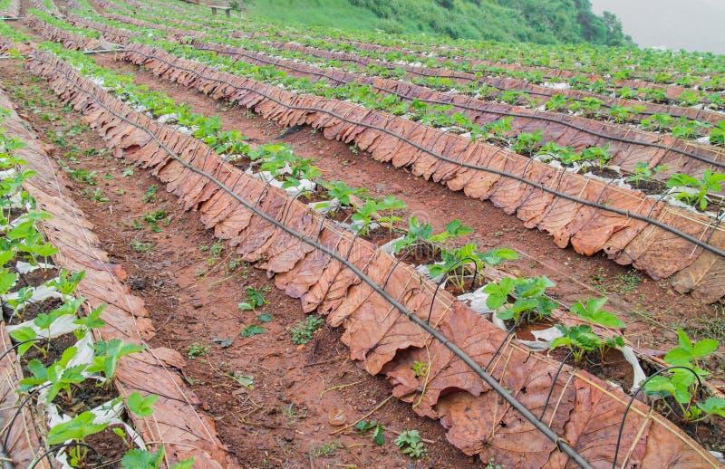 Het gebied van de berglandbouw Plantaardige aanplantingsscène in Mon Cham een heuvelrand op het gebied van het dorp van Mong Nong royalty-vrije stock foto