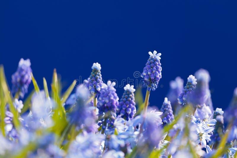Het gebied van de bloem met bloeiende blauwe druivenhyacinten stock afbeeldingen