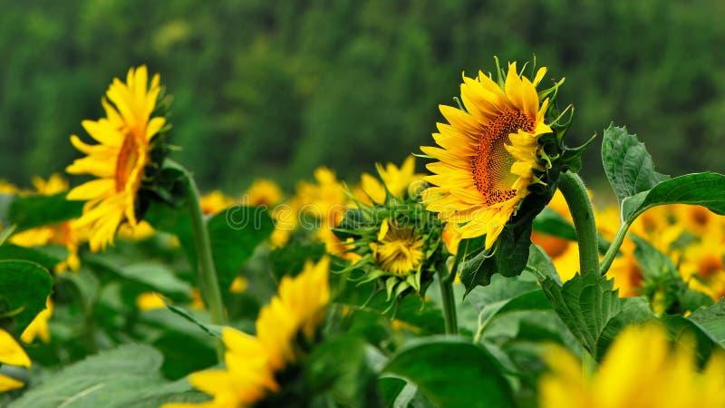 Het gebied van de bloem van de Zon stock fotografie