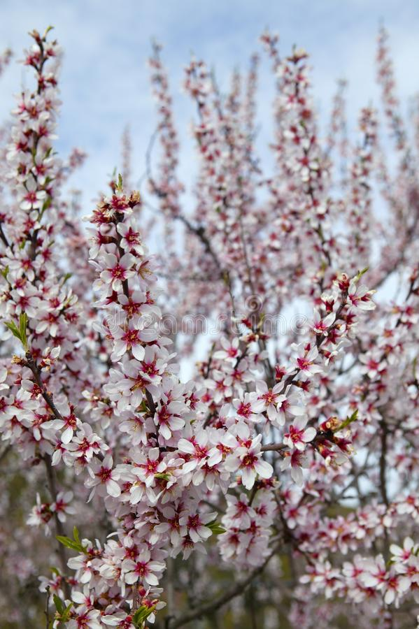 Het gebied van de bloembomen van de amandel in lentetijd stock afbeelding