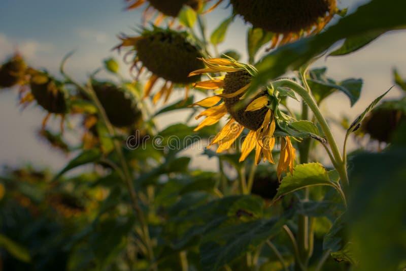Het gebied van de Blossimingszonnebloem met grote gele die bloemen door zon worden aangestoken royalty-vrije stock foto