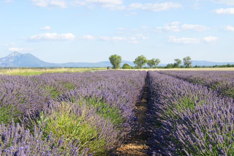 Het gebied van de de zomerlavendel in de Provence, Frankrijk stock afbeelding