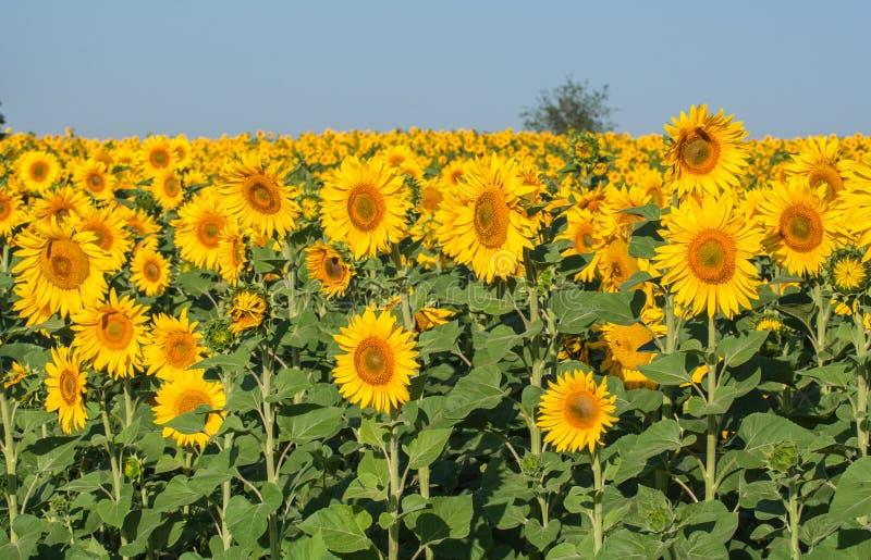 Het gebied van de de zomerzonnebloem stock fotografie