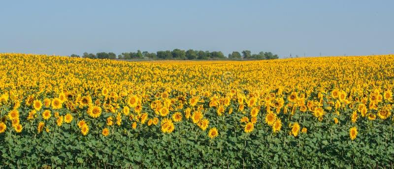 Het gebied van de de zomerzonnebloem royalty-vrije stock foto