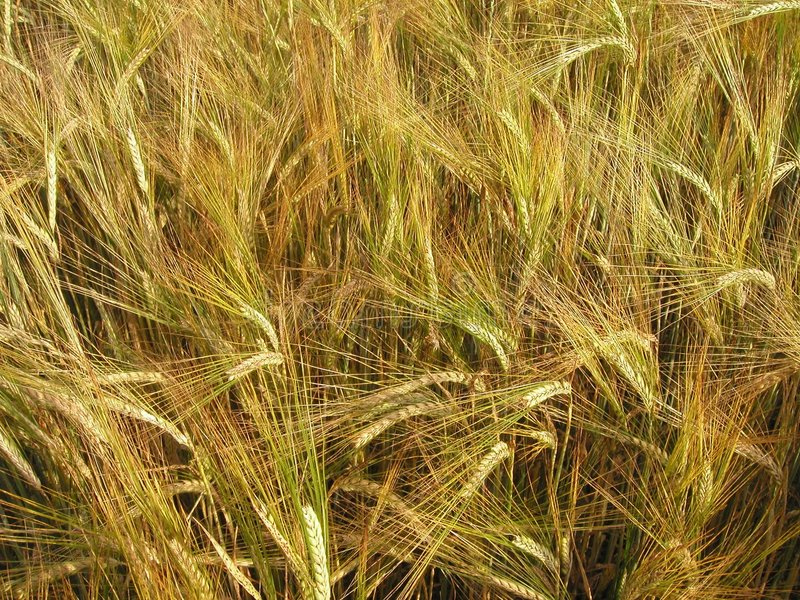 Download Het gebied van de gerst stock afbeelding. Afbeelding bestaande uit farming - 291671
