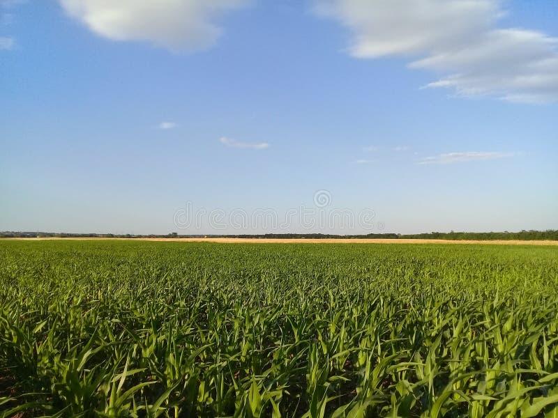 Het Gebied van de graanmaïs met de achtergrond van het Tarwegebied royalty-vrije stock foto's