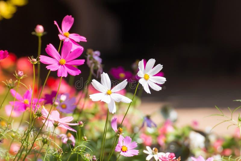 Het gebied van de kosmosbloem met onduidelijk beeldachtergrond, de het gebieds bloeiende lente van de Kosmosbloem bloeit seizoen stock afbeeldingen