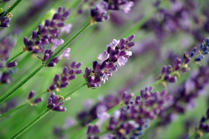Het gebied van de lavendel in Baja stock foto's