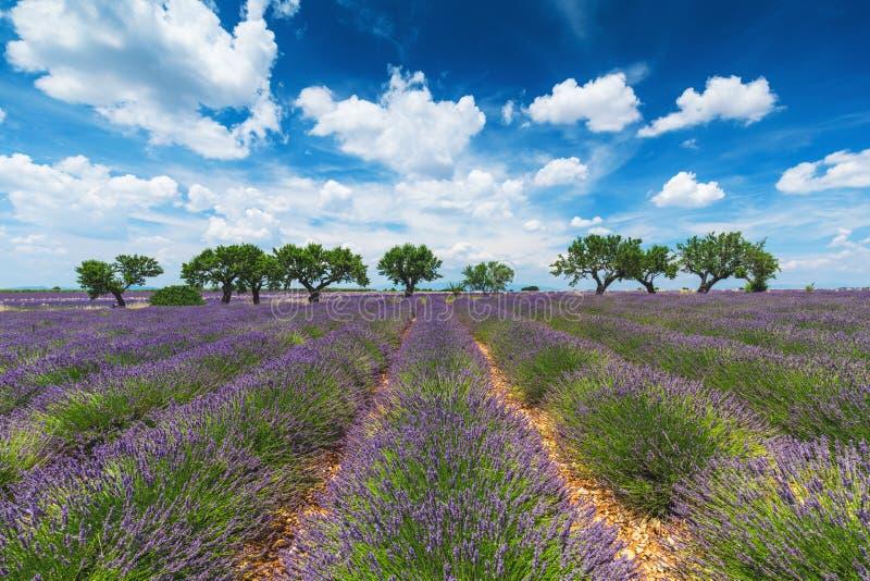 Het gebied van de lavendel in de Provence, Frankrijk stock foto's