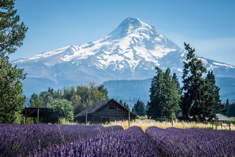 Het gebied van de lavendelbloem dichtbij MT Kap in Oregon, met een verlaten schuur royalty-vrije stock fotografie