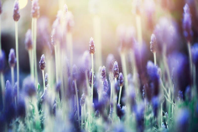Het gebied van de lavendelinstallatie De bloem van Lavandulaangustifolia Bloeiende violette wilde bloemenachtergrond met exemplaa stock afbeeldingen