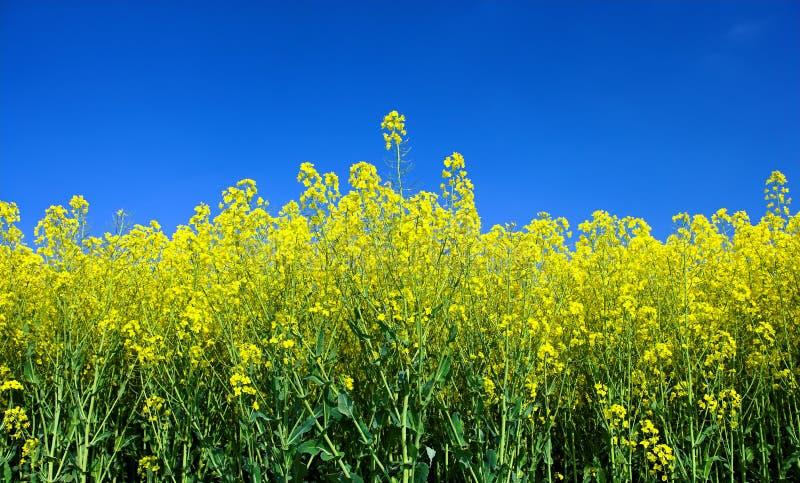 Het gebied van de lente met bloemen royalty-vrije stock afbeelding