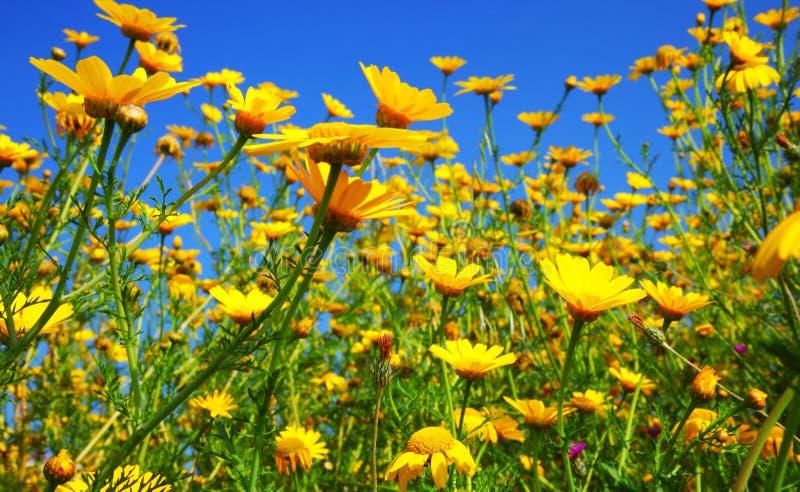 Het gebied van de lente van gele madeliefjes stock foto