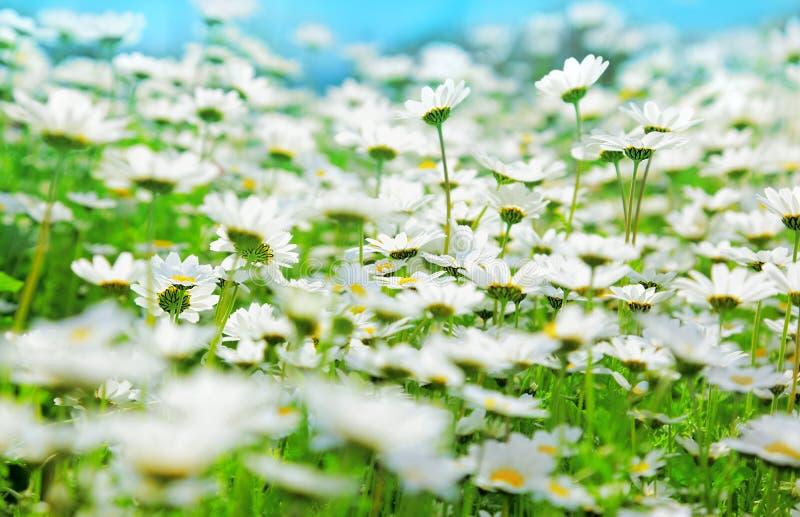 Het gebied van de lente van madeliefjes stock fotografie