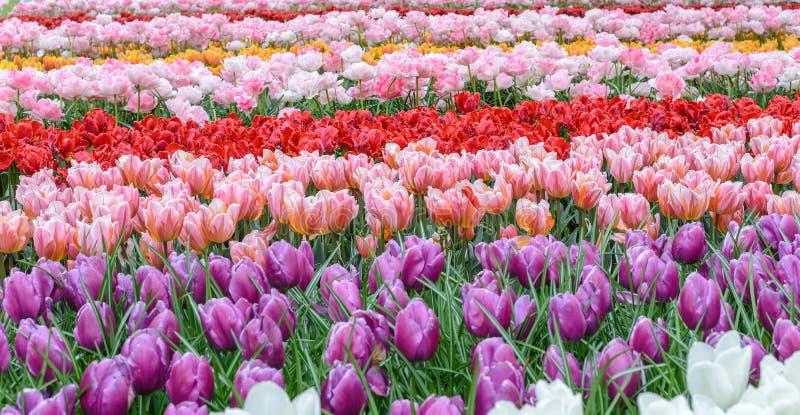 Het gebied van de de lentetulp stock foto's