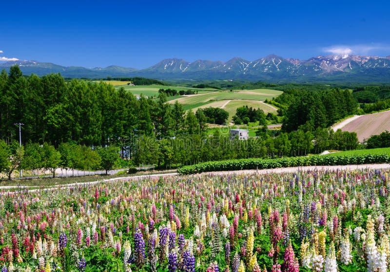 Het gebied van de Lupinebloem in de zomer met bergachtergrond stock afbeeldingen