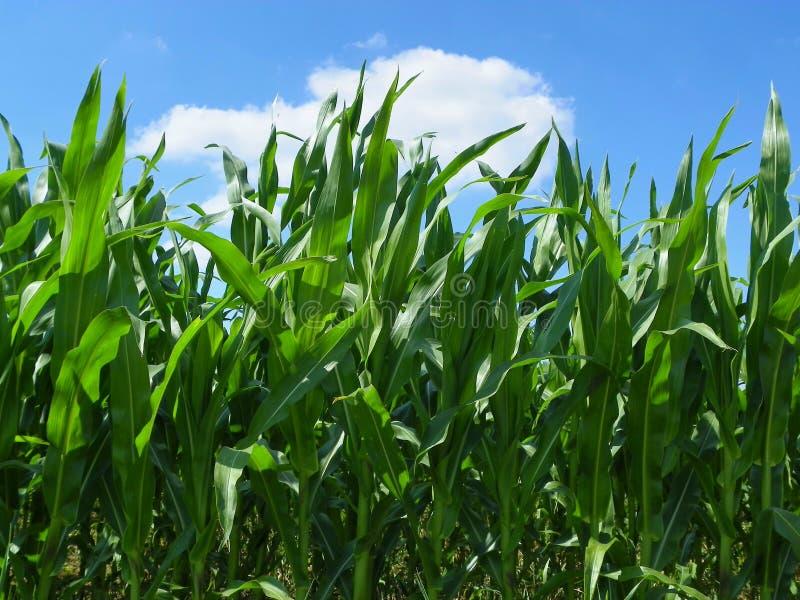Het Gebied van de maïs royalty-vrije stock foto's