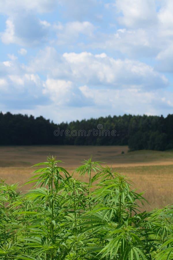 Het gebied van de marihuana royalty-vrije stock fotografie