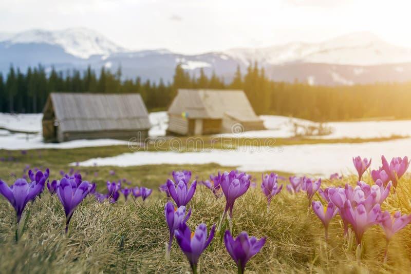 Het gebied van de mooie eerste lente bloeit, violette krokussen die op Karpatische bergenvallei bloeien op heldere de lenteochten stock foto's