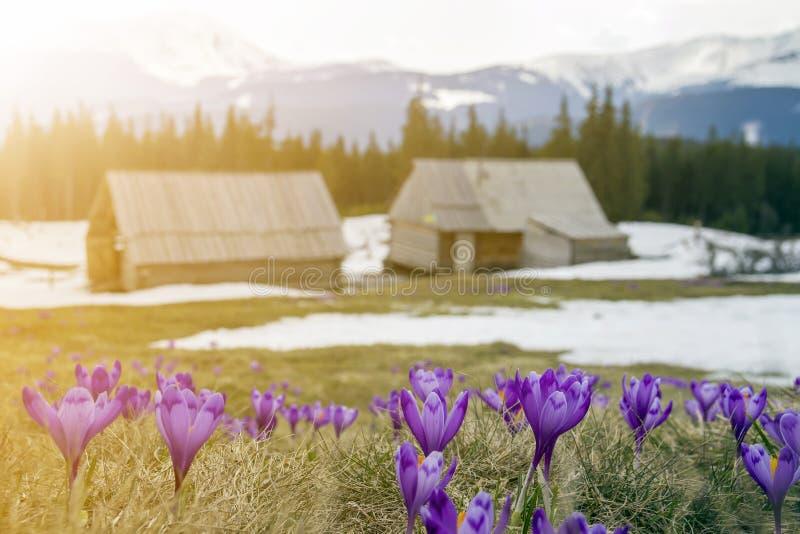 Het gebied van de mooie eerste lente bloeit, violette krokussen die op Karpatische bergenvallei bloeien op heldere de lenteochten stock fotografie
