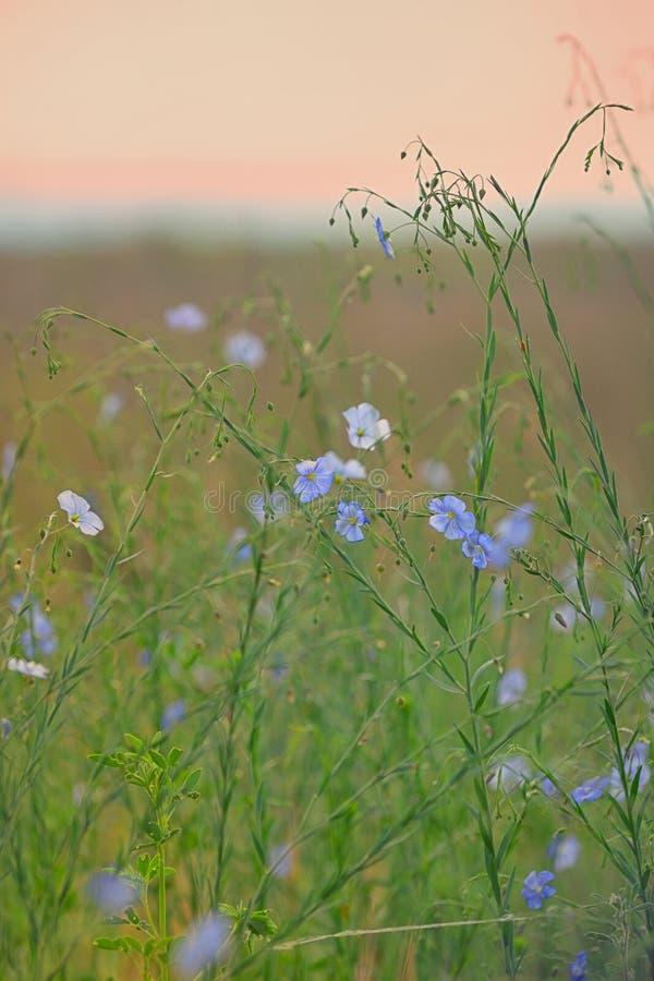 Het gebied van de Nemophilabloem, blauwe bloemen royalty-vrije stock afbeelding