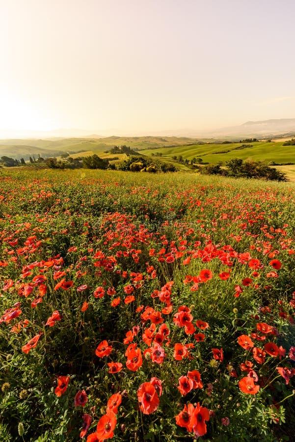Het gebied van de papaverbloem in mooi landschapslandschap van Toscani? in Itali?, Podere-Belvedere in het Gebied van Val D Orcia stock foto's