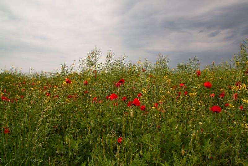 Het gebied van het de recente zomerlandschap met de bloemen van de papaverpapaver in het plattelandslandschap royalty-vrije stock afbeeldingen