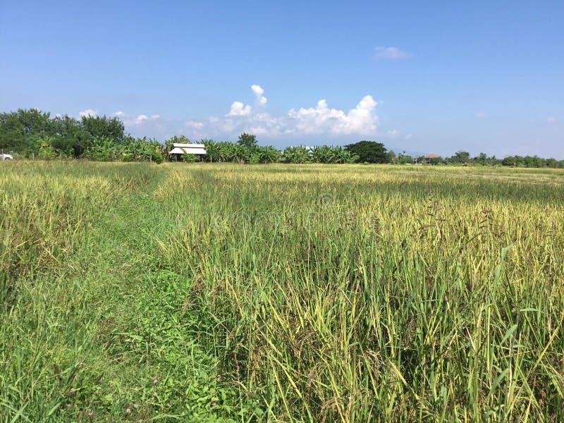 Het gebied van de rijstbes stock afbeelding