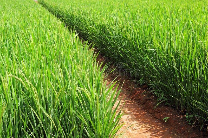 Het Gebied van de rijstinstallatie stock fotografie