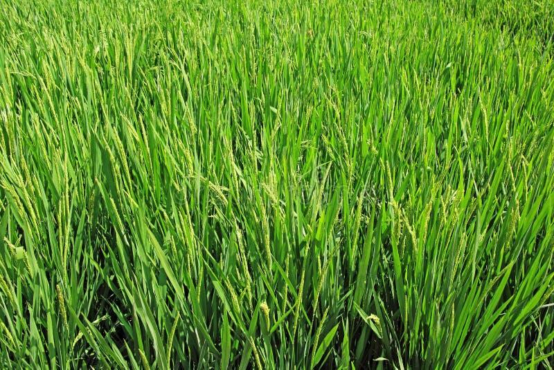 Het Gebied van de rijstinstallatie royalty-vrije stock fotografie