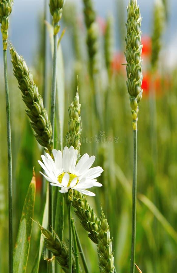 Het gebied van de tarwe. stock foto