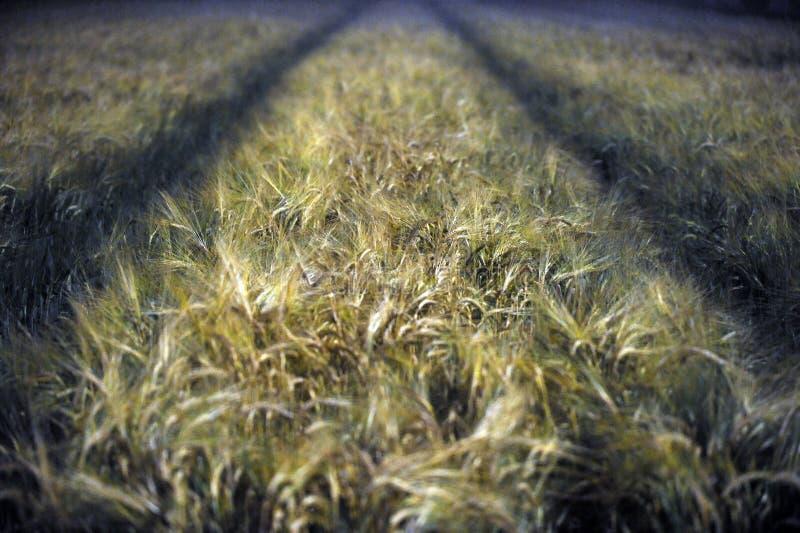 Het gebied van de tarwe bij nacht stock afbeeldingen