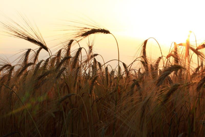 Het gebied van de tarwe bij zonsondergang royalty-vrije stock afbeelding