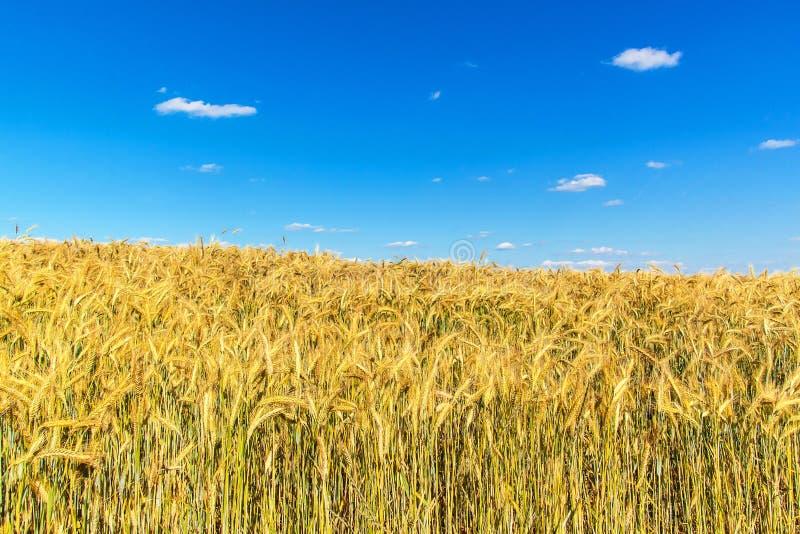 Het gebied van de tarwe en blauwe hemel met wolken Rijpe aren tegen een intense blauwe hemel Landbouwlandschap in de Tsjechische  royalty-vrije stock afbeelding