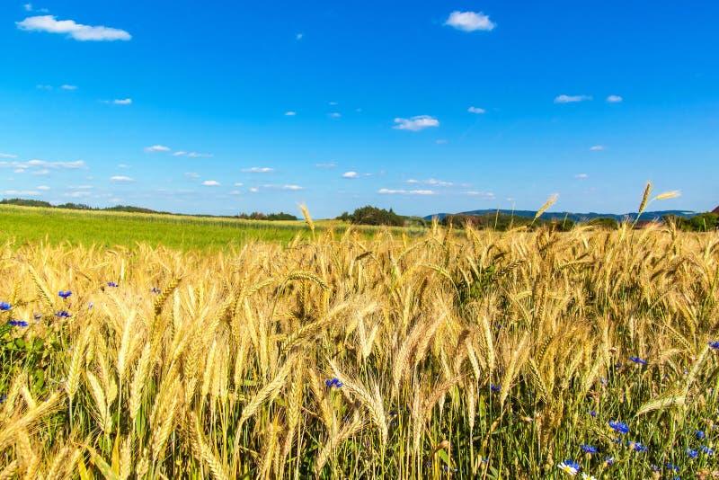 Het gebied van de tarwe en blauwe hemel met wolken Rijpe aren tegen een intense blauwe hemel Landbouwlandschap in de Tsjechische  royalty-vrije stock fotografie