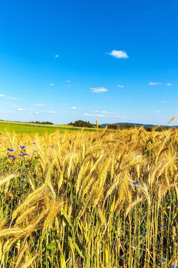 Het gebied van de tarwe en blauwe hemel met wolken Rijpe aren tegen een intense blauwe hemel Landbouwlandschap in de Tsjechische  stock fotografie