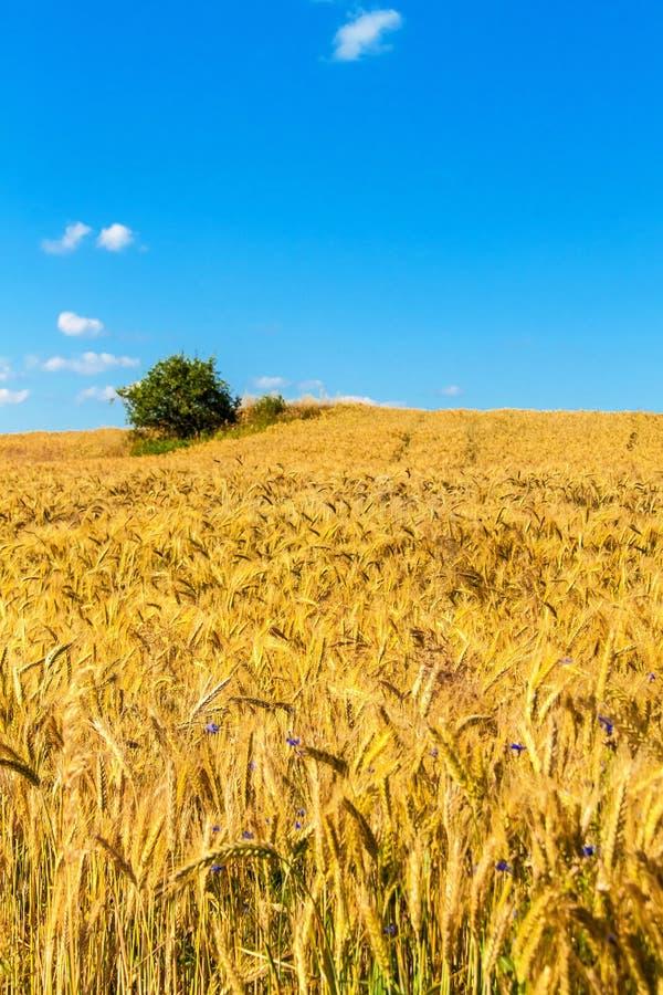 Het gebied van de tarwe en blauwe hemel met wolken Rijpe aren tegen een intense blauwe hemel Landbouwlandschap in de Tsjechische  royalty-vrije stock foto