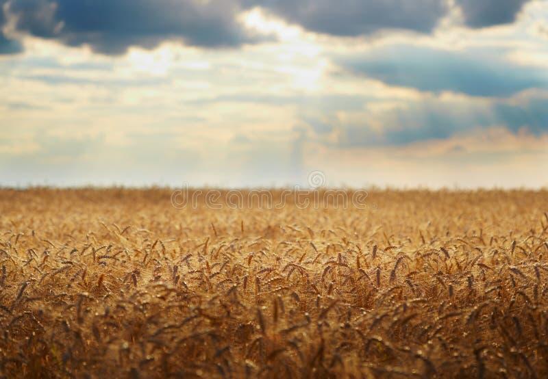 Het gebied van de tarwe Gele korrel klaar voor oogst royalty-vrije stock fotografie