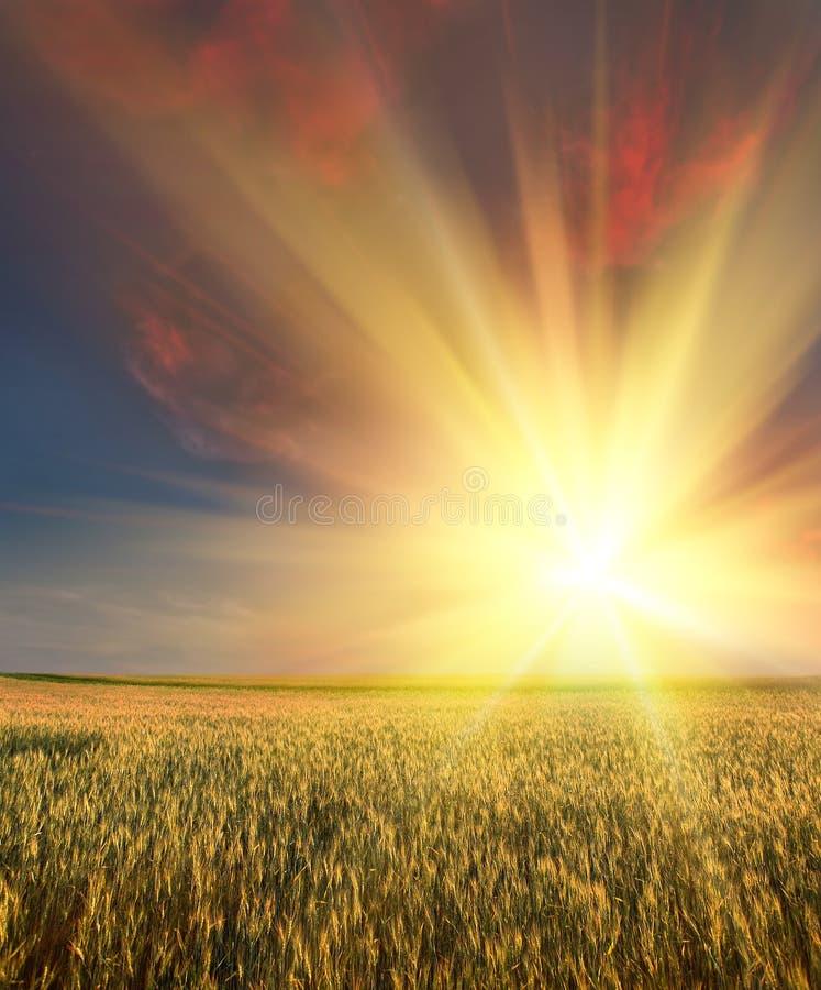 Het gebied van de tarwe met zonsondergang royalty-vrije stock foto