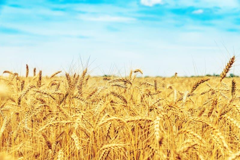 Het gebied van de tarwe onder blauwe hemel met wolken Gouden oogst stock fotografie