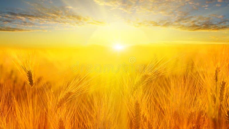 Het gebied van de tarwe De oren van gouden tarwe sluiten omhoog Het mooie Landschap van de Aardzonsondergang Landelijk landschap  royalty-vrije stock foto's