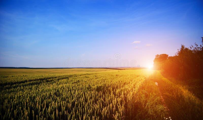 Het gebied van de tarwe De oren van gouden tarwe sluiten omhoog Het mooie Landschap van de Aardzonsondergang stock foto