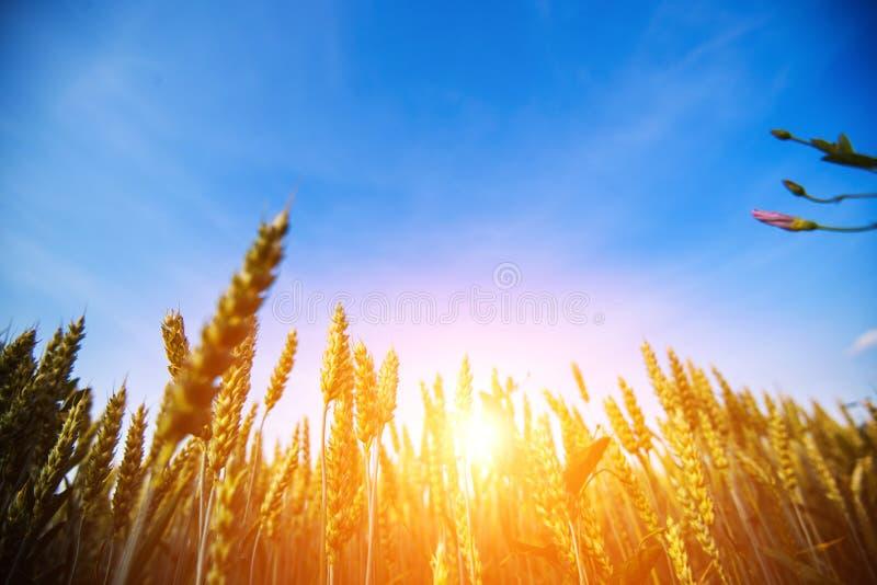 Het gebied van de tarwe De oren van gouden tarwe sluiten omhoog Het mooie Landschap van de Aardzonsondergang stock afbeeldingen