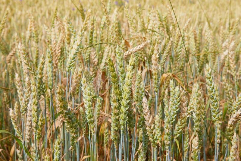 Het gebied van de tarwe De oren van groene onrijpe tarwe sluiten omhoog Mooi landschap royalty-vrije stock afbeelding