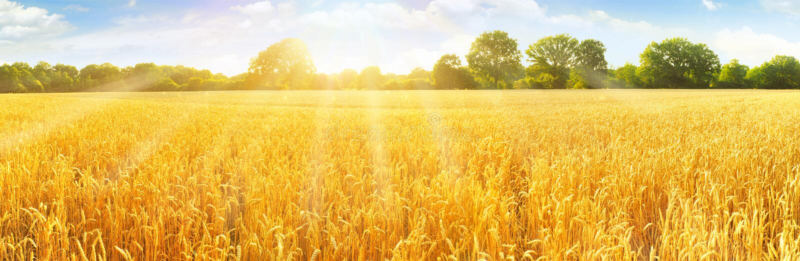 Het gebied van de tarwe in zomer royalty-vrije stock afbeeldingen