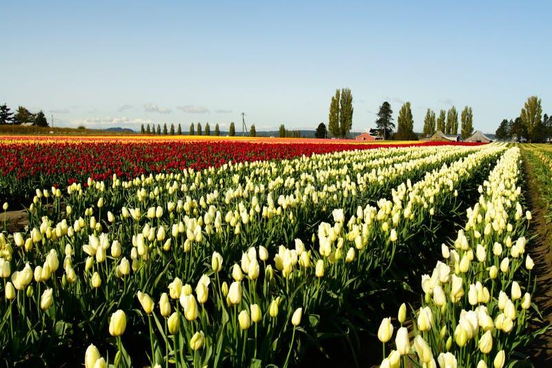 Het gebied van de tulp royalty-vrije stock foto