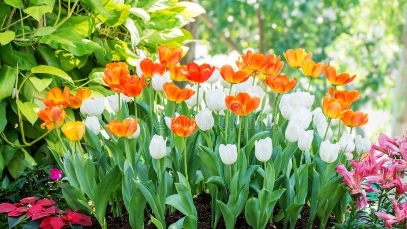 Het gebied van de tulpenbloem royalty-vrije stock foto
