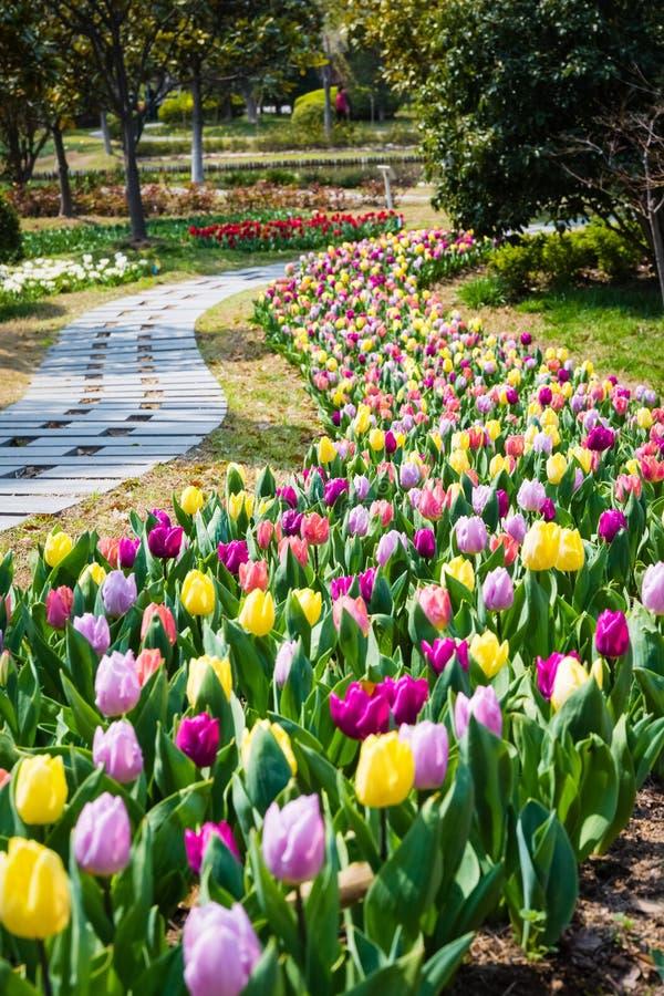 Het gebied van de tulpenbloem in de lente royalty-vrije stock afbeeldingen